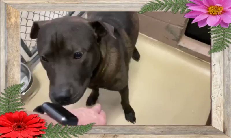 💥 🆘 #STILL Being Overlooked!  💥🆘 HARRIS COUNTY ANIMAL SHELTER HOUSTON #TEXAS🆘  🆘 Needs out/ A HOLD TODAY #FRIDAY 10TH JULY BY 5PM💥  🚨🚨AT HIGH RISK FOR #EUTHANASIA TONIGHT🚨🚨   #A556587 HARRISON  Is a gorgeous 2yr 1mth old (N) (M) Lab Retr mix.. ❤️HW-   More⬇️ https://t.co/b9HDvwXqt5
