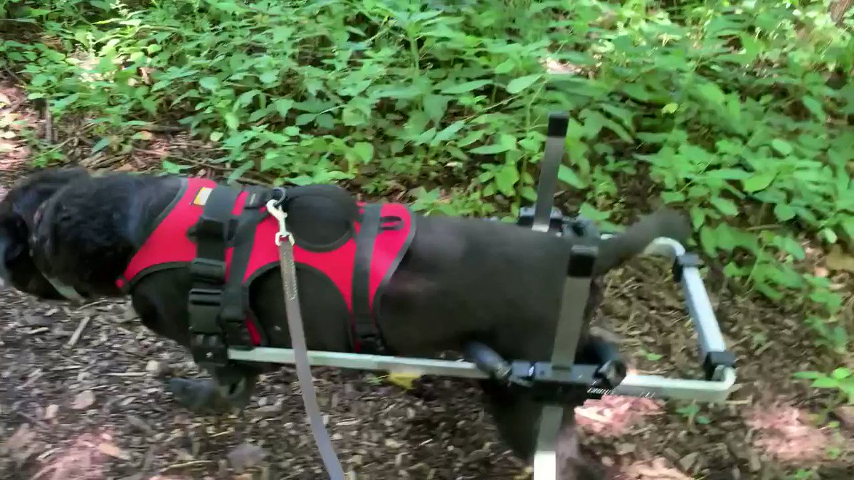 We went for a short hike today at Rasmussen Woods. Everything was fine until some dude let his unleashed dogs charge at Abby. #leashlaws apply to all dogs. Then Abby rolled her wheelchair through his dog's poop on the trail. #ihatepeople #BeResponsible pic.twitter.com/RfAzqu0D9f