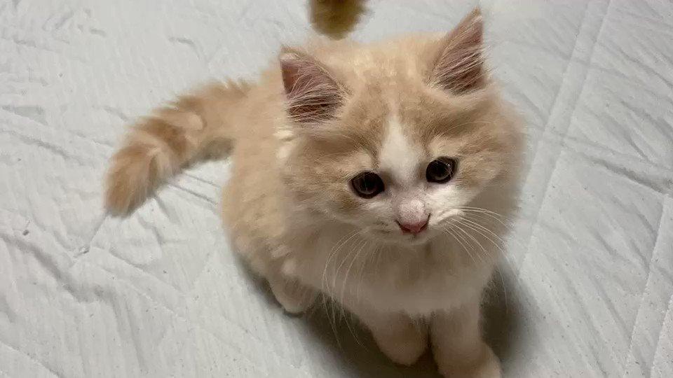ラテは成長して顔が整ってきました🥳#猫