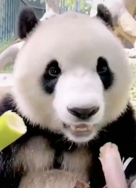 モリモリ食べるパンダ