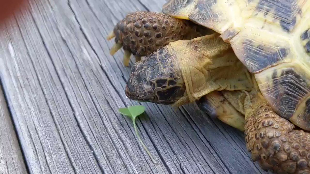Today I learned about the #ANTSAT hashtag (Always Nice to See A Turtle)  Here is my contribution for the day! Coco eats a single weed.