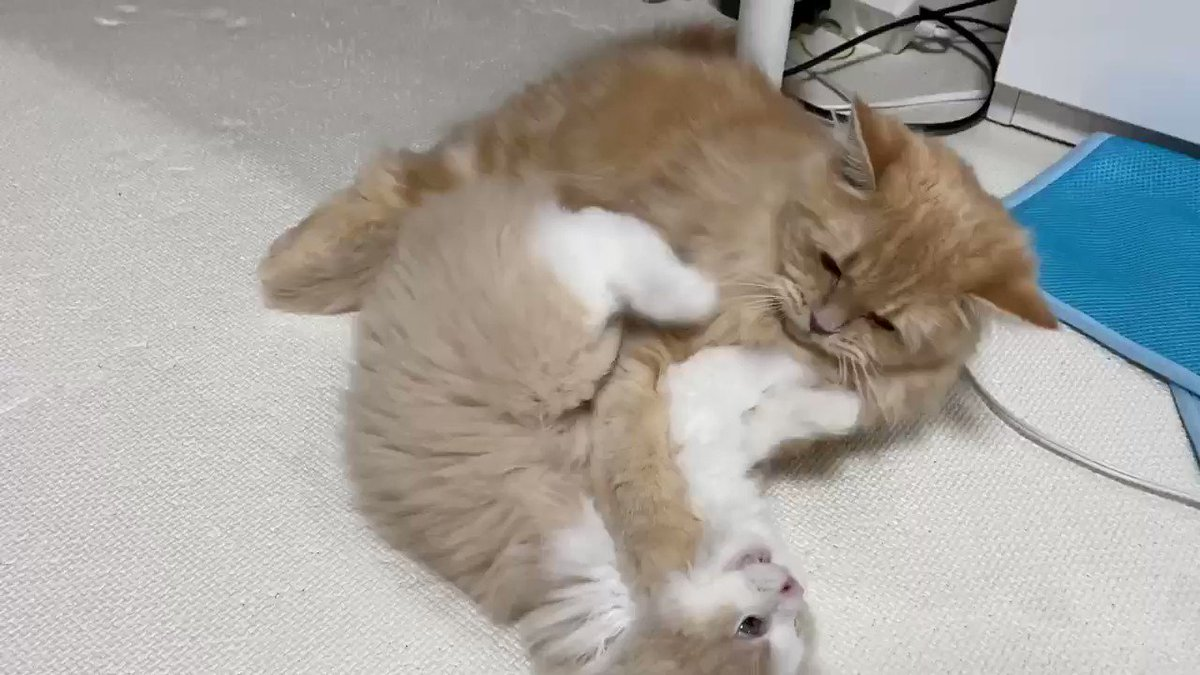 動いたら叩くわよ!スパルタ教育のモカ🤣#猫
