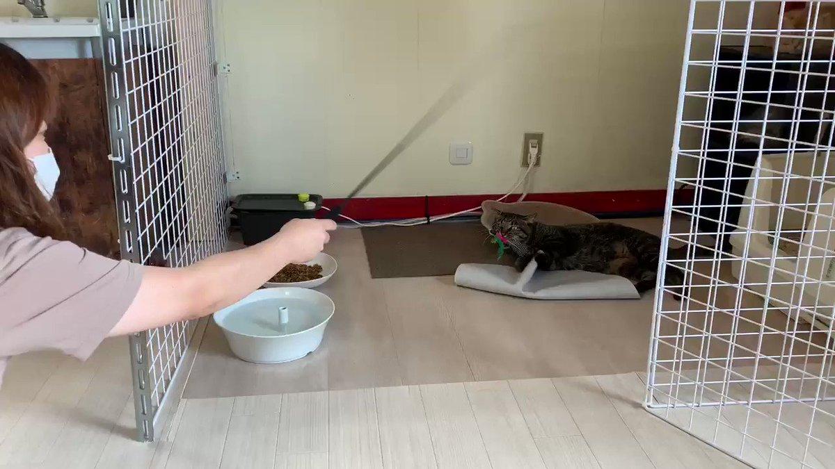 今日も長助はいっぱい遊んでもらってました😽  #保護猫 #保護猫カフェ #里親募集中 #里親募集 #三重 #猫 #家族 #保護猫カフェ猫婆 #猫婆 #三重県 #鈴鹿市 #スタッフ紹介 #cats #cat #pet #family