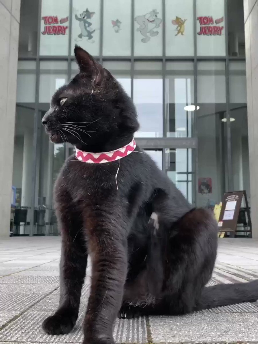 『機敏😺quick 』(2020/ 7/ 12朝)🎨早送りの映像ではなく、ケンちゃんの動きにびっくりですニャ。#尾道 #千光寺公園 #尾道市立美術館 #黒猫 #cat