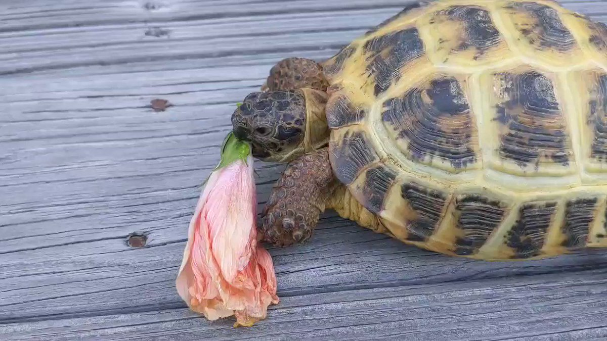 Coco has decided that she likes hibiscus flower again, I guess??? 🌺🐢 #ANTSAT