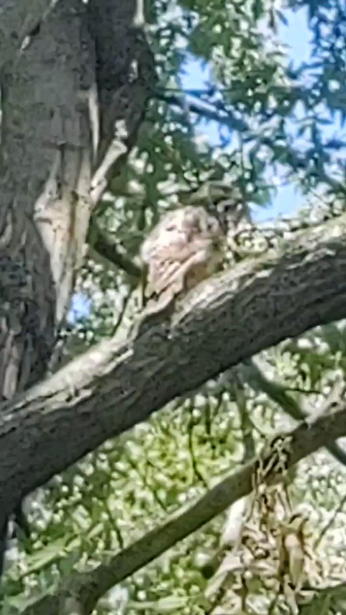 Image for the Tweet beginning: I believe it's a red-tailed