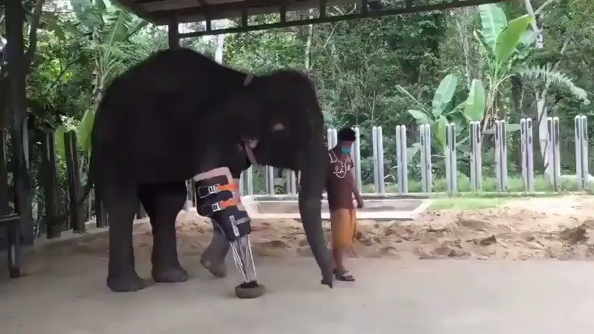 ❝Compassion is not religious business, it is human business, it is not luxury, it is essential for our own peace & mental stability, it is essential for human survival.❞   – Dalai Lama  Prosthetic leg for the Gentle Giant.. Beautiful! 🥺😭  📽Imgur..🐘🐾 https://t.co/NIOH40ebo9