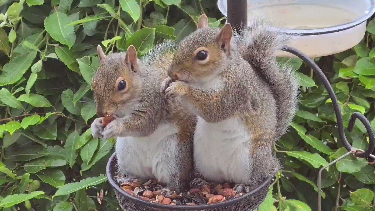 Squirrel friends 🐿🐿 #AWindowonScotland #Ayrshire #Scotland #SharingIsCaring