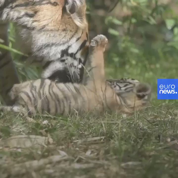 Meet Poland's newest Sumatran tiger. https://t.co/P449g2IO8z