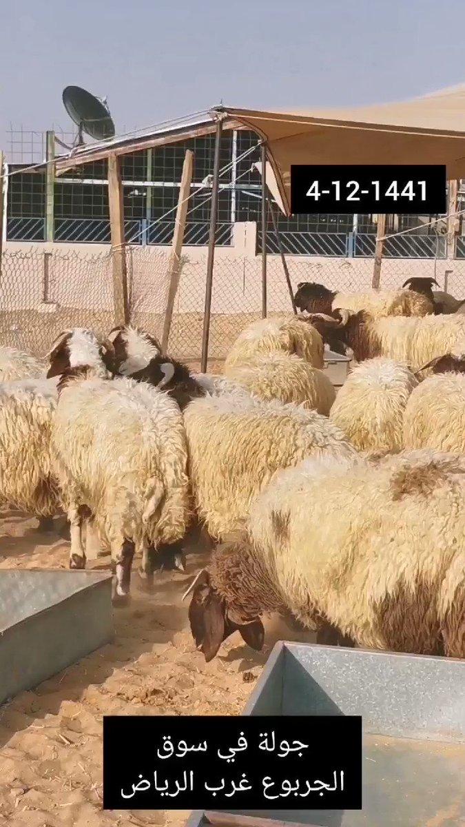 كل شي عن الرياض On Twitter جولة و أسعار الأغنام الضحايا في سوق الجربوع غرب الرياض 4 ذو الحجة 1441 25 يوليو