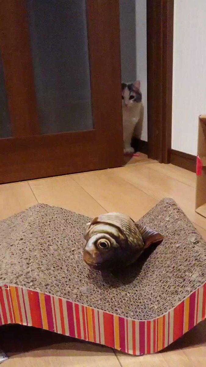 買了個貓咪很感興趣的東西 RjrWLLC1Su3ZoIZx