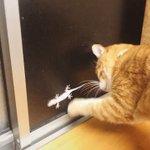 見てる側も飽きません!ヤモリと窓越しに格闘する猫ちゃん