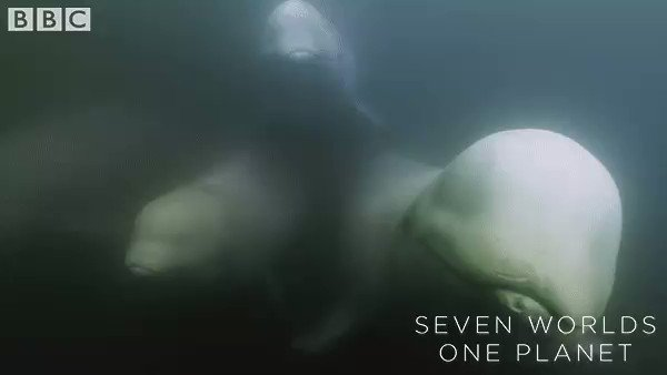 The bulbous part of a beluga whales head is called a melon (amazing) and aids them in echolocation and communication with other belugas. 😍 #SevenWorldsOnePlanet