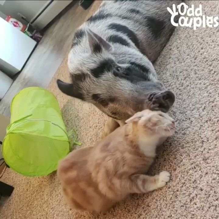 Time for cuddles! Which friend are you? ❤️ for the cat 🔁 for the pig https://t.co/XQeNdX83dF