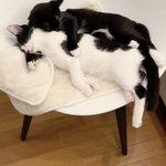 人間でもされてみたい?腕枕をする猫が可愛すぎる!