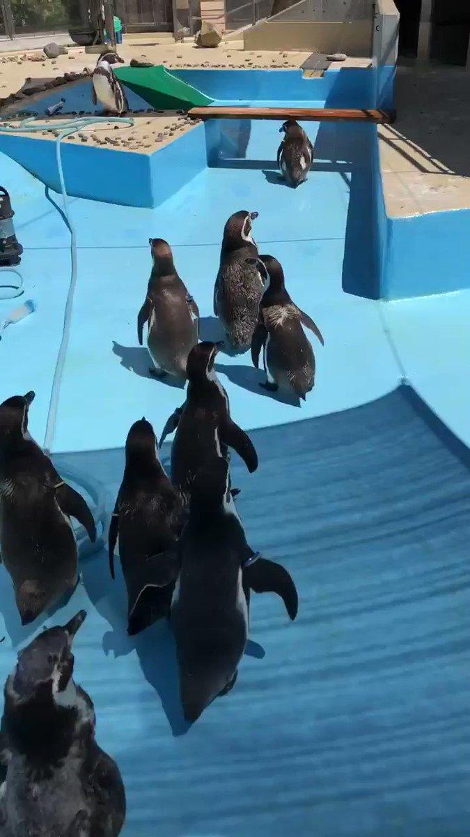 ペンギンプールの大掃除!ペンギンたちは別の部屋に移動して、掃除が終わるまで待ってもらっています☝️#フンボルトペンギン #須坂市#須坂市動物園