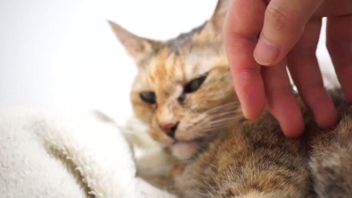 あくびねこ!!!!٩( ⌯᷄Д⌯᷅ )۶ファ~ #猫動画 #CatsMovie #neko #cat #猫部 #猫 #麦わら猫 #猫好きさんと繋がりたい #猫のいる暮らし #猫好き #CatsOfTwitter