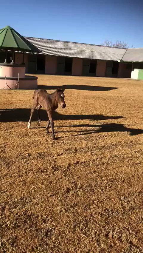 南アフリカで種牡馬になったディープ産駒ダンノンプラチナの初めての子が誕生。ヒューイットソン騎手の通訳を務めた安藤裕氏に送った動画です。元気な男の子。関連記事は極ウマ・プレミアムのコラム「ハッピーダイアリー」で。#keiba #競馬