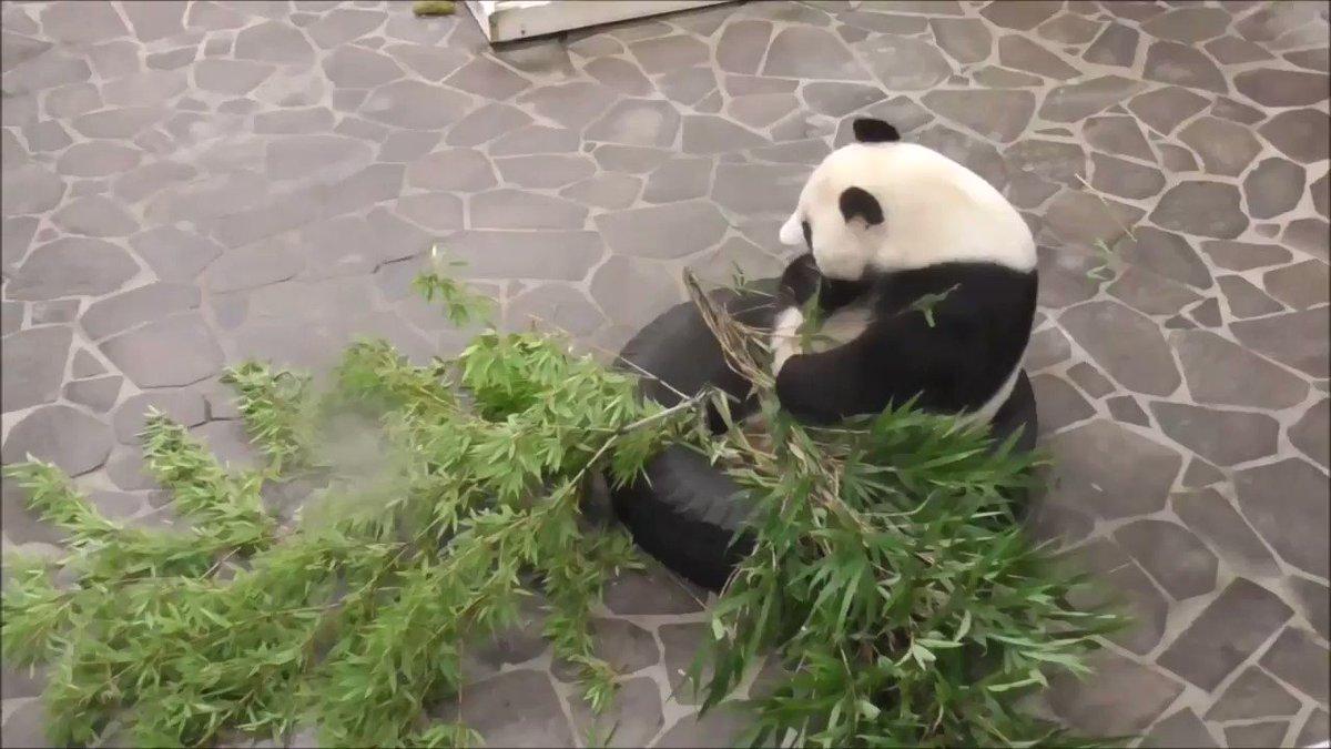 たんたんさん、只今ごはんタイムです🐼たくさん食べてますよ😊その分、体重も順調に増えていっているのは、たんたんさんも女性なので内緒にしてあげてくださいね🤫95.5キロなんて...あっ(笑)#きょうのタンタン #王子動物園#淡河