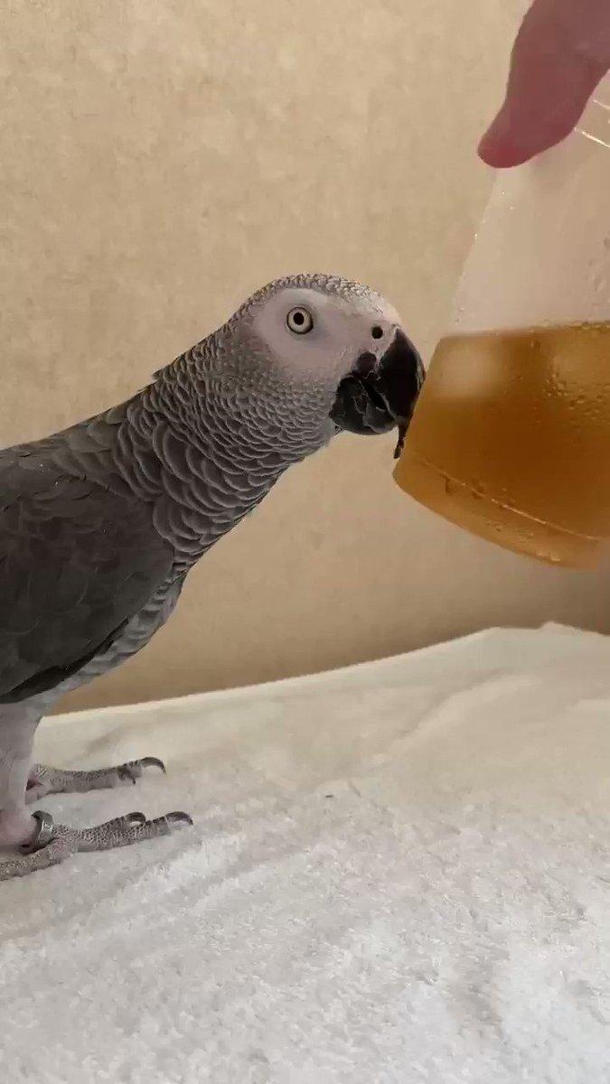 飲み物を近づけると飲み物を注ぐ音を担当してくれるヨウム