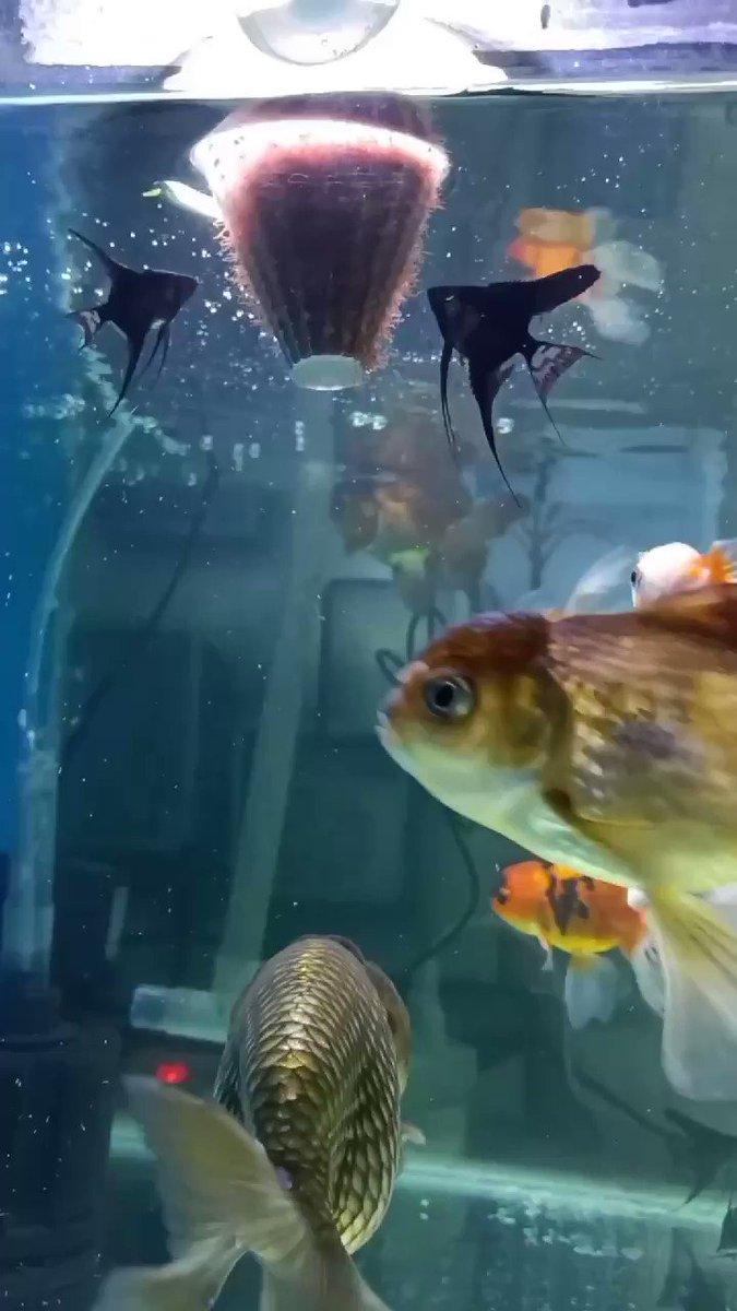 dinner time~  #ikankoki #goldfish #Hobbies pic.twitter.com/b9jwSQg0mG