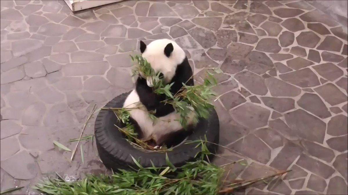たんたんさん、ごはんタイムです🐼皆さんは、このたんたんさんが食べている竹の種類わかりますかね?#きょうのタンタン番外編 にて紹介していますので、また良ければ読み直してくださいね😉#きょうのタンタン #王子動物園#淡河#答えは孟宗竹です
