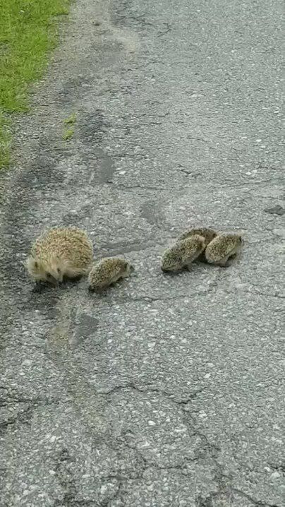 Image for the Tweet beginning: Hedgehog family is crossing the