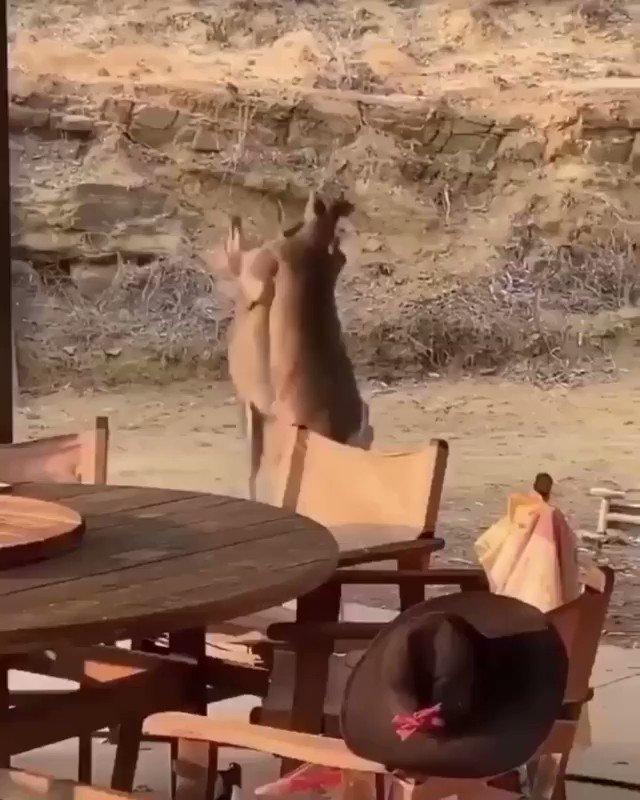 Kangaroo fight..  🎥 IG: blueplanet8192 https://t.co/0nzNM4CgEv