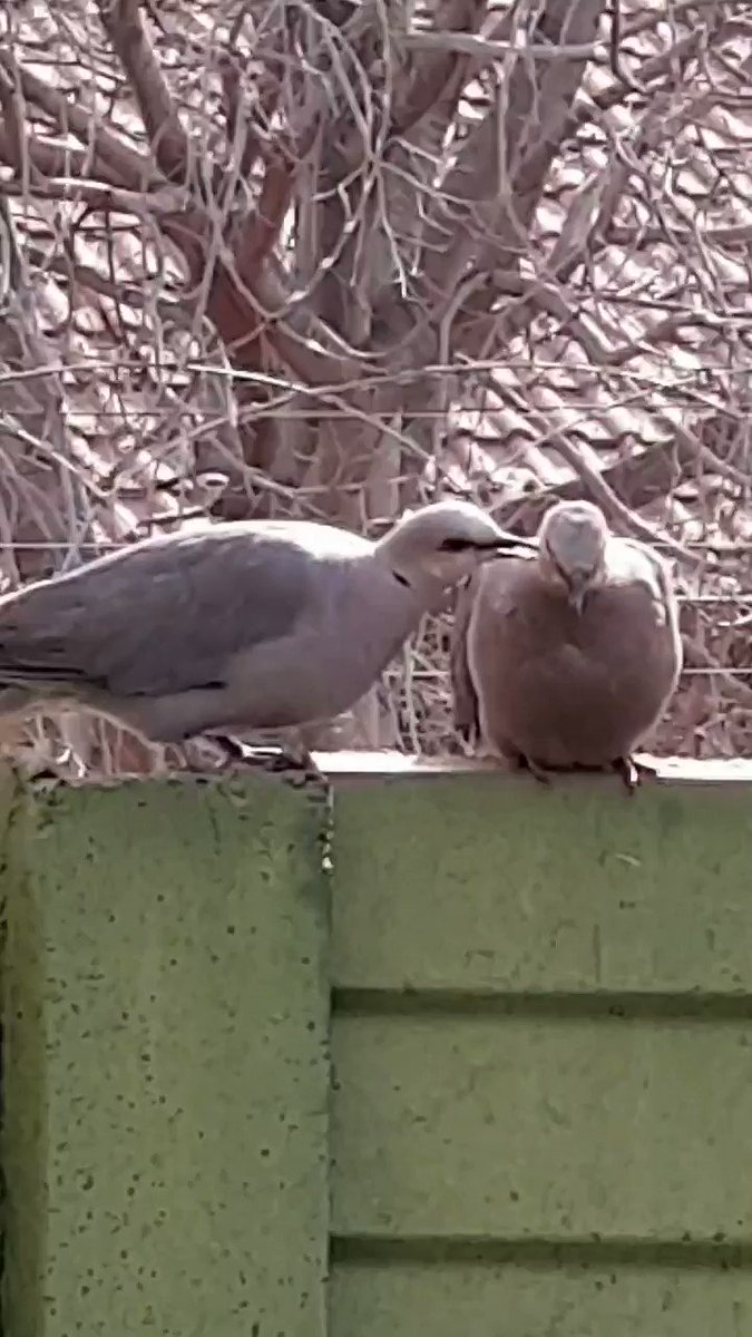 Personal attention is so important and seemingly the best way to do it is to take turns... #birds #inmygarden #naturelovers ⚘ pic.twitter.com/4oF1Qh4ip8