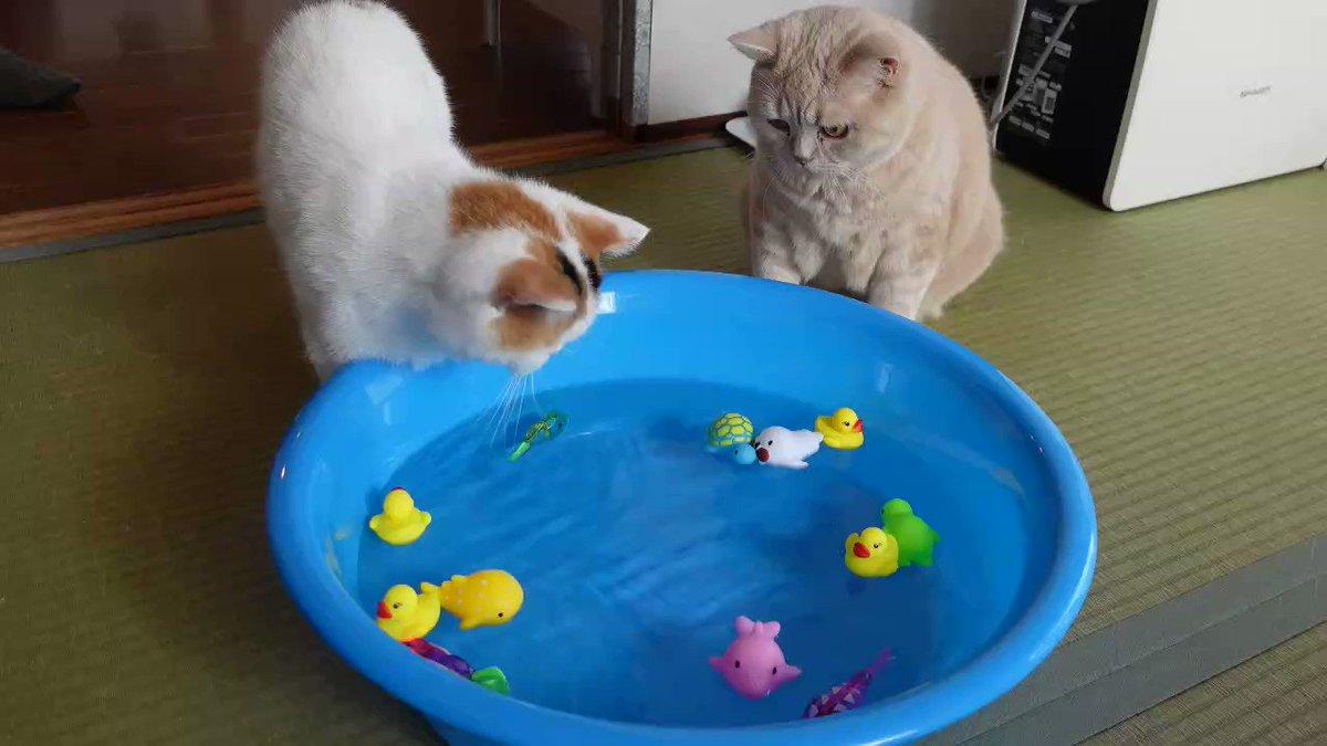 水の中で泳いでる魚のおもちゃが気になる猫 https://t.co/mh96hB42eI