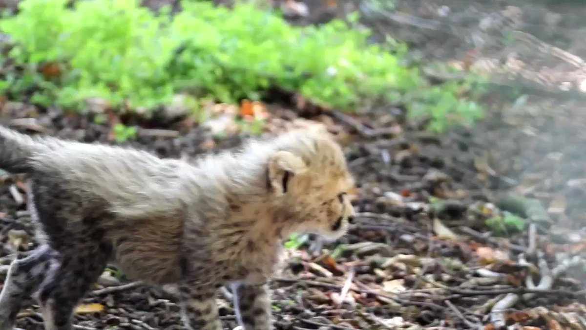 We need your help to name the three new endangered Northern cheetah cubs! -  You can suggest a name via the blog only - and be in with a chance to win one of three conservation annual passes! https://t.co/xoQVdiygLs https://t.co/kX6s8nZjiz