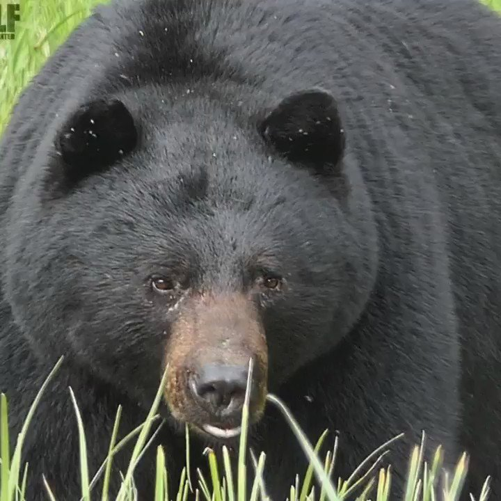 Its the last day to oppose FWSs proposed rule to loosen bear-hunting restrictions in Alaskas Kenai National Wildlife Refuge. Unethical predator control has no place in modern society, + certainly not in a wildlife refuge. Act now ➡ bit.ly/2DtY7tp @Alaska_Wildlife