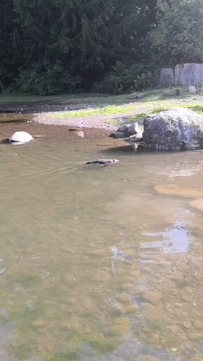 A lovely day for a swim!  The Humboldt Penguin habitat in Fota is connected to Cork Harbour, which provides the birds with natural sea water. https://t.co/Azm4a9YRu8 https://t.co/GHH8BN18mq