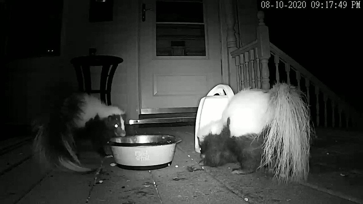 Something we have learned, skunks love Italian food.  This rumble was a result of a small amount of leftover rigatoni. Pro Tip:  Don't get between a skunk and his rigatoni *Posting this again because I posted the wrong video before #Beastrocam https://t.co/ISzDBOmio9