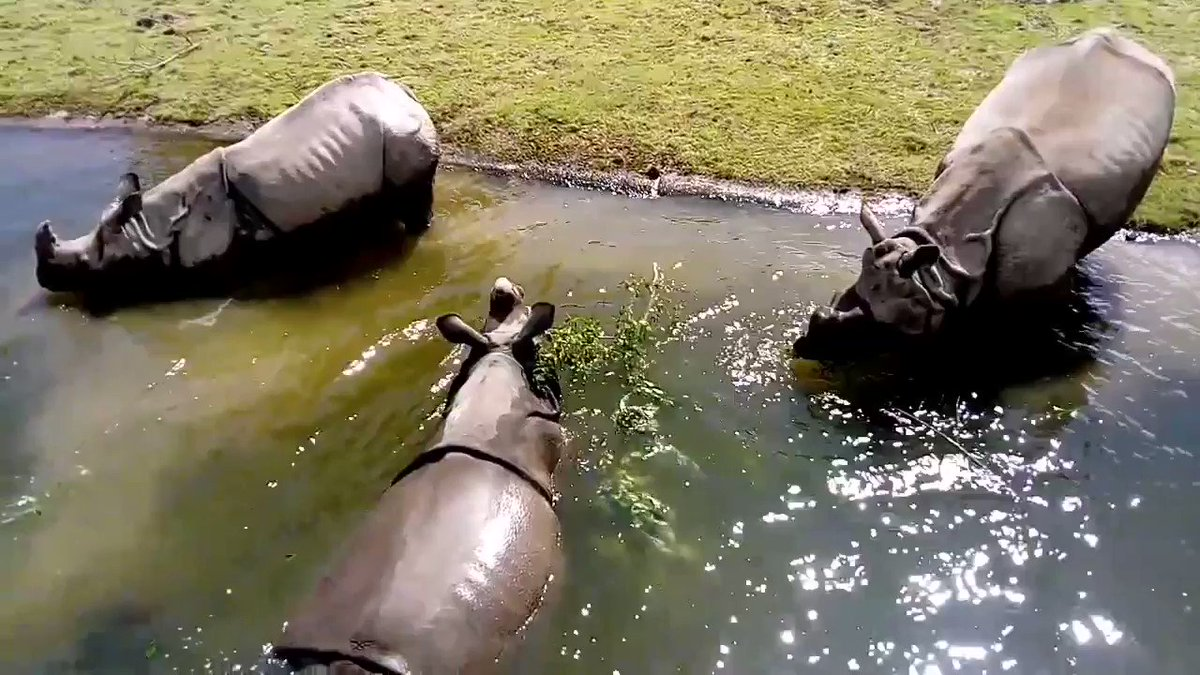 The three Indian Rhino at Fota Wildlife Park out in their pool, thanks to our ranger Cormac for the video. Maya, our only female Indian Rhino arrived to the park this January.  Learn more about the Indian Rhino here - https://t.co/fyQ1CHmMPV https://t.co/Fo7UTXYUAw