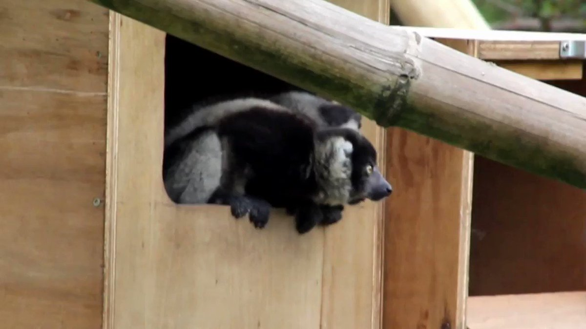 Our two Black and White ruffed #lemurs have been named! Thanks to everyone for suggesting names, introducing Bánie, suggested by Liam Sheehan from Castletownbere & Dubh suggested by Anne Loughnane from Galway, who have both one an annual pass to the park. https://t.co/5OX523TMug https://t.co/ZVQNR0R5lh
