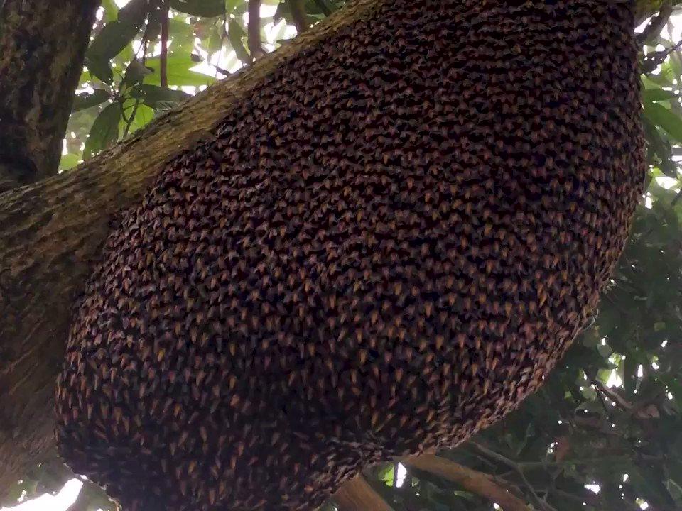 ハチの巣に外敵が近づいたとき、ミツバチはタイミング良く瞬時にお腹を上に振り上げ、ウェーブを起こして威嚇します。「シマリング」と呼ばれるこの行動は、ニホンミツバチではみられますが、セイヨウミツバチではみられません。