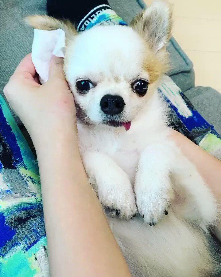 耳掃除されるゆきち。気持ち良さげ☺️昨日ゆきちの吠えた回数は0回でした#ゆきちチャレンジ 10日目#小型犬 #犬のいる暮らし #ポメチワ #ポメラニアン #チワワ #犬 #ワンコ #いぬすたぐらむ #kawaii #dog #doglover #dogstagram #pet