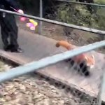 全く怖くないどころかむしろ可愛い!威嚇するレッサーパンダに癒される!