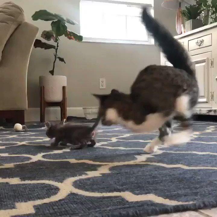 新しい里子猫と遊ぶ