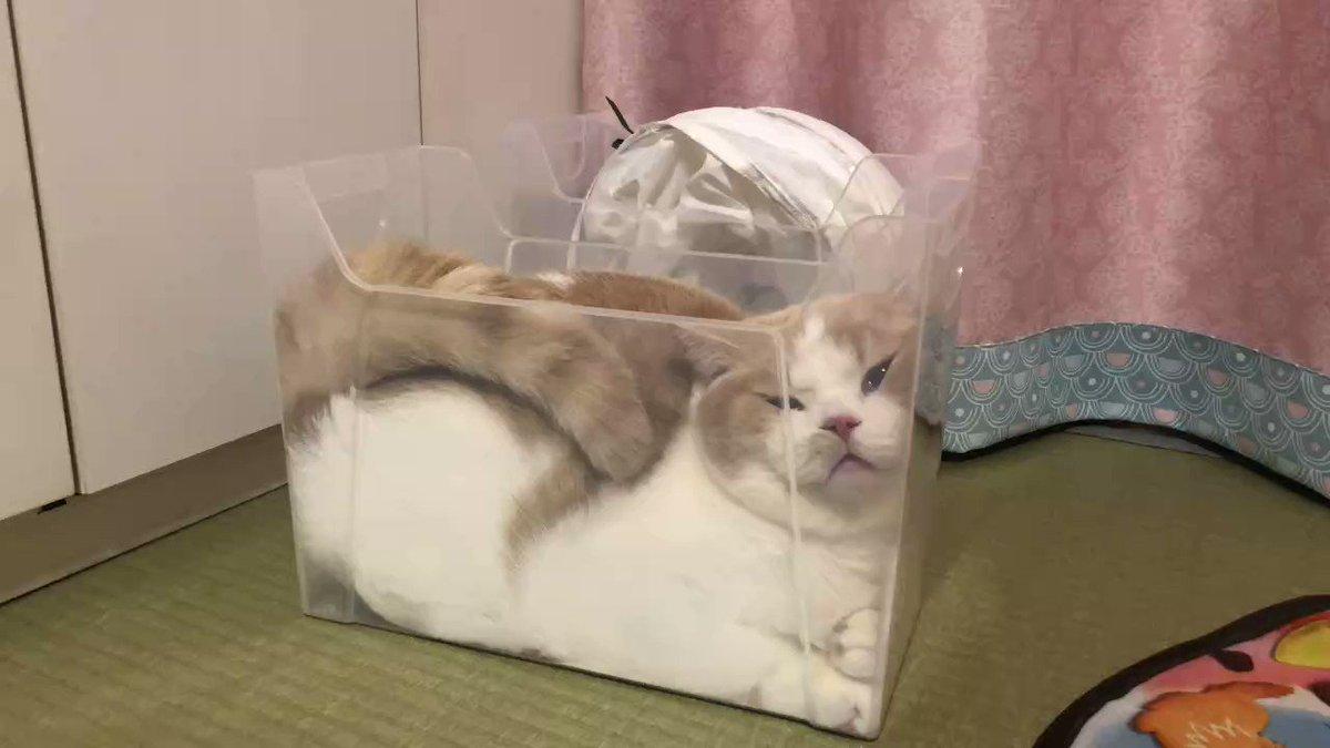 スリムなプラケースでくつろぐ猫