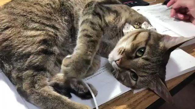 「今夜はひどくかわいいしぐさで邪魔してきた」 勉強の邪魔をする猫ちゃんの誘惑がかわいすぎる@KemuriChangさんから