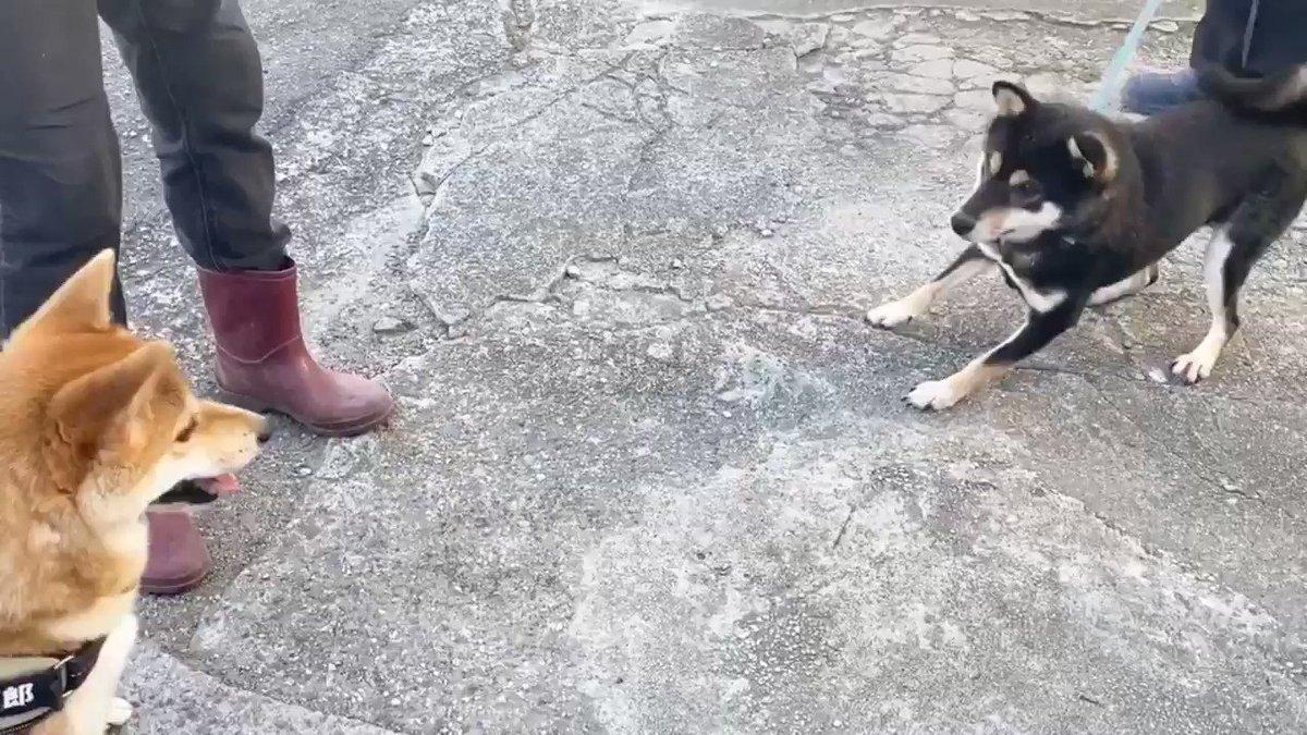 兄弟犬に会いに行ったら熱烈な歓迎をうけ若干引き気味の柴犬(笑)