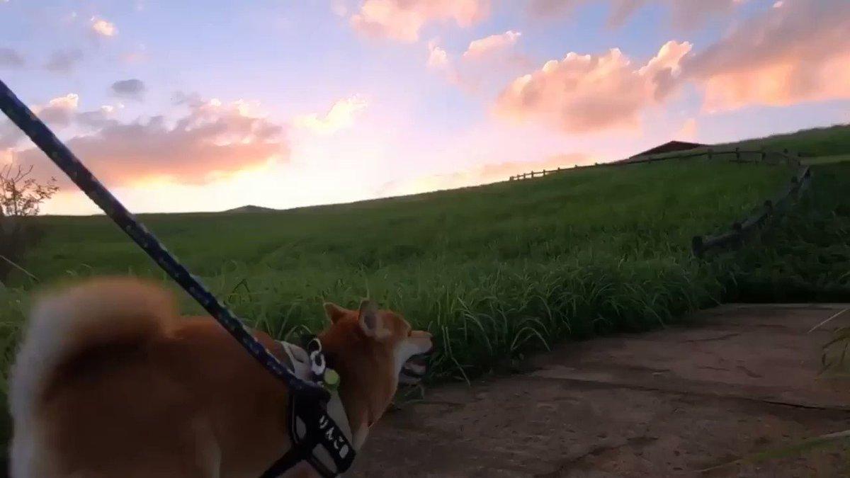 夕日に向かって柴犬と走ってきました🐕🏃♂️💨