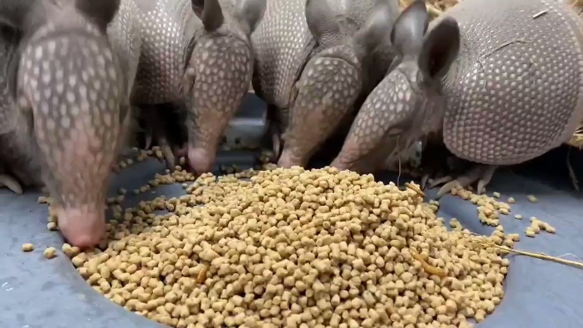 """Armadillo overload! Growing appetites mean BIG growth spurts for our four not so """"baby"""" armadillos: Justin, JC, Lance and Joey. (...sorry Chris!)  📸: Keeper Becca https://t.co/EfuSxEgvjq"""