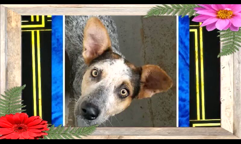 ⚠️  URGENT💥  🆘 PALM VALLEY ANIMAL SOCIETY EDINBURG #TEXAS💥   💥 COULD BE KILLED ANY DAY💥   💥PLS SHARE! #ADOPT #FOSTER #RESCUE #PLEDGE  #A45442891 NINA Is a beautiful, sweet & friendly 2yr old girl. Please someone give this sweetheart a home!  https://t.co/CHh69g1cK3   More⬇️ https://t.co/OSxPAkFdZO