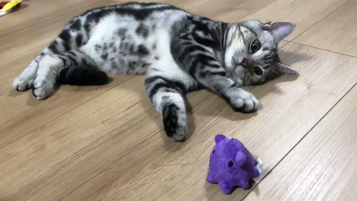 くるりん#猫 #猫のいる暮らし #アメショー