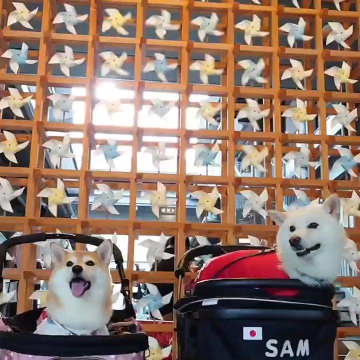 今日はお友達と嵐山へ♫#柴犬 #shiba  #京都 #嵐山