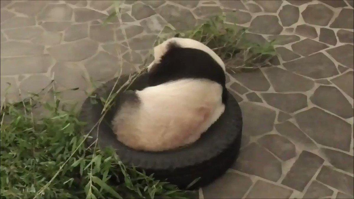 おはようございます!たんたんさんは、現在タイヤでお休み中でございます💤しかし、タイヤとジャストフィットしていますね(笑)#きょうのタンタン#王子動物園 #ジャイアントパンダ