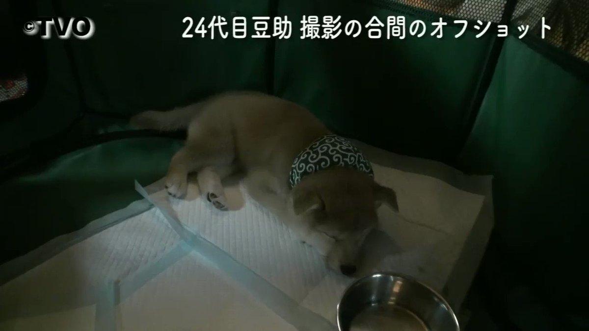 豆助撮影中のオフショット😄お昼寝中の豆助。😴24代目豆助。#柴犬 #shibainu  #Mamesuke  #豆助 #puppy #子犬